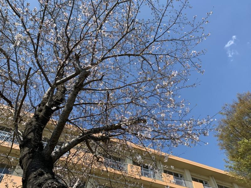 晴天に映える桜咲き始め🌸